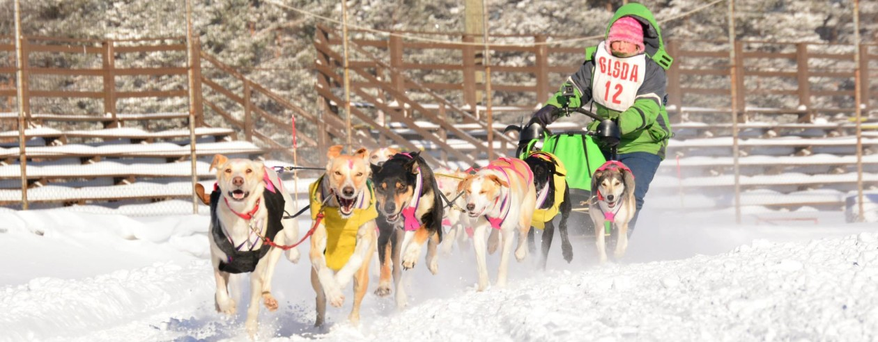 Coyote Run Sled Dog Kennel - Group - DOGS FOR SALE!!!!!!!